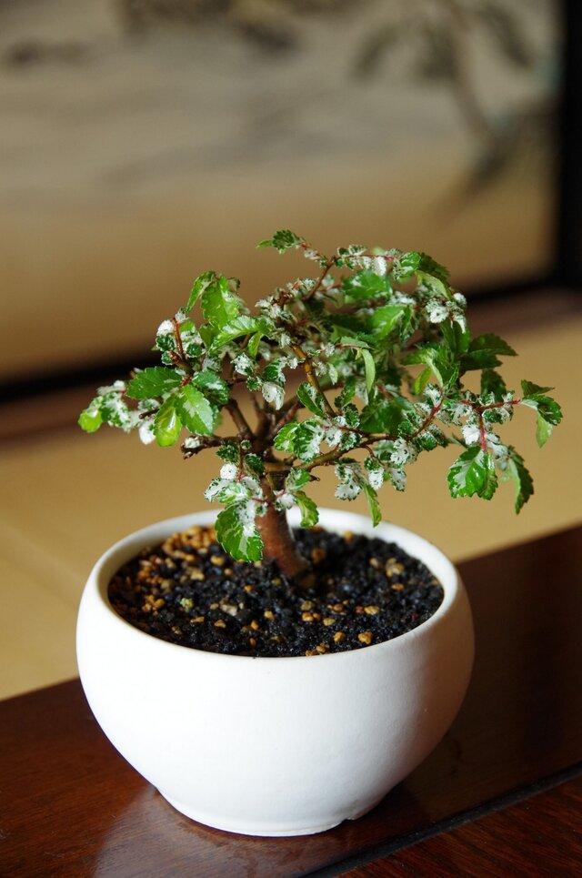斑入りケヤキの盆栽の画像1枚目