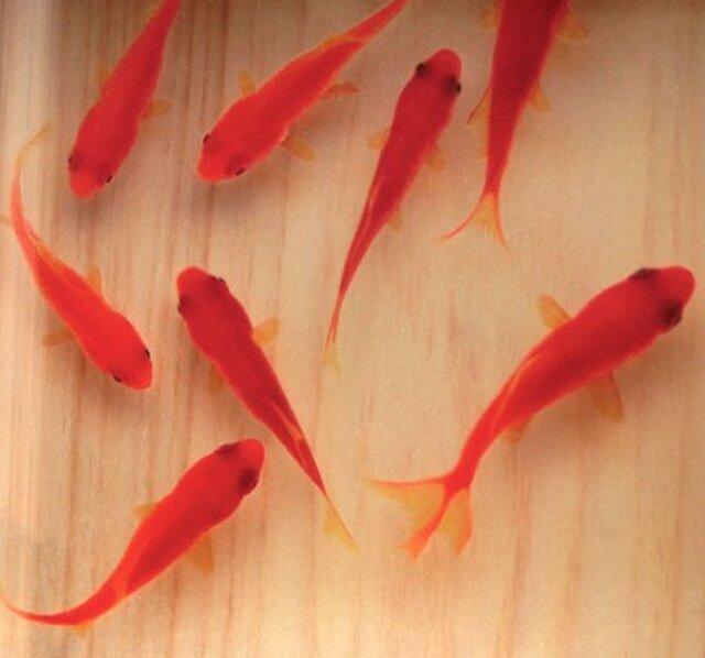 樹脂金魚 3D金魚 金魚アート ひのき  「咲」 純日本製 プレゼント 誕生日 結婚 退職 還暦 祝い 男性 女性 クリスマスの画像1枚目