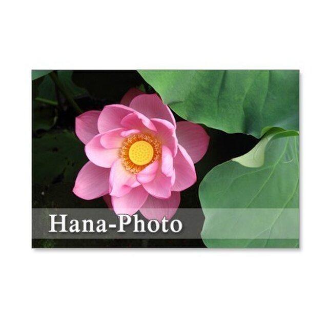 1068) 蓮の花  セット 5枚組ポストカードの画像1枚目