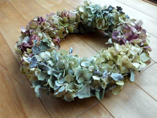 秋の紫陽花の画像1枚目