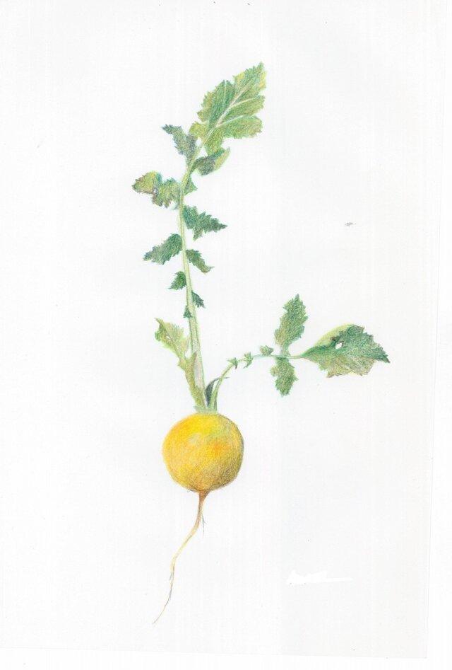 黄色いかぶの画像1枚目
