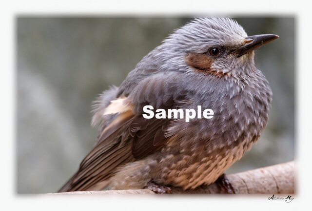 No.014 身近な野鳥たち ヒヨドリ ポストカード5枚組 の画像1枚目
