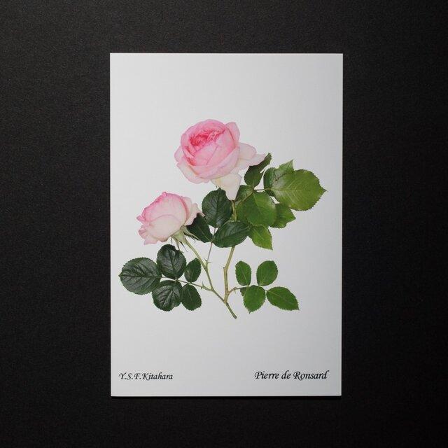 バラのポストカード ピエール・ド・ロンサールの画像1枚目