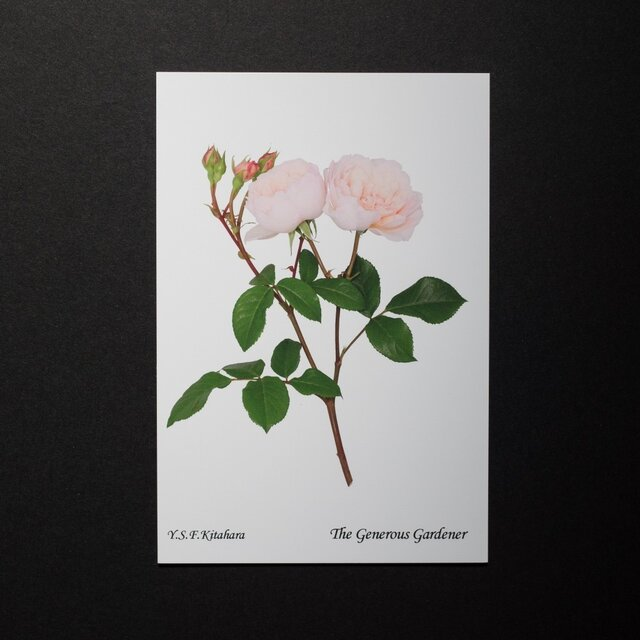 バラのポストカード ジェネラス・ガーデナーの画像1枚目