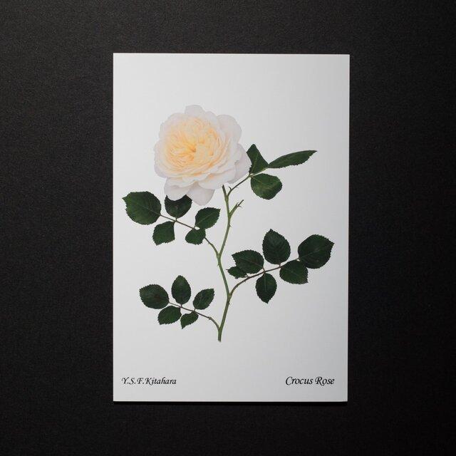 バラのポストカード クロッカス・ローズの画像1枚目