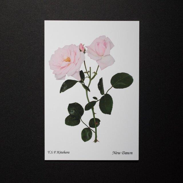 バラのポストカード ニュー・ドーンの画像1枚目
