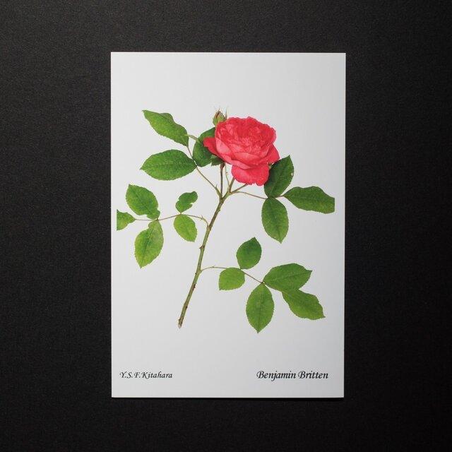 バラのポストカード ベンジャミン・ブリテンの画像1枚目