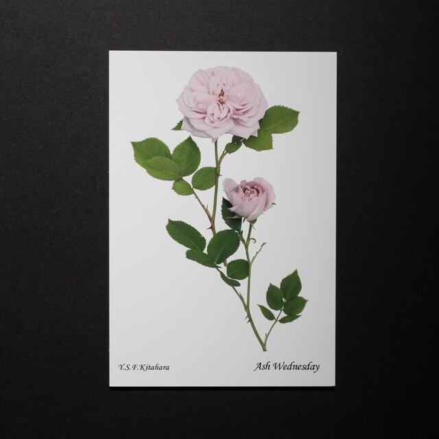 バラのポストカード アッシュ・ウェンズデー の画像1枚目