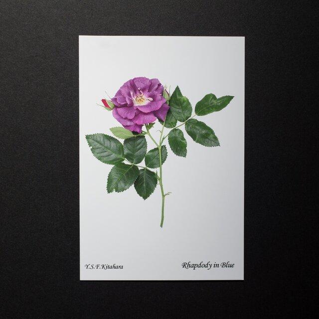 バラのポストカード ラプソディー・イン・ブルーの画像1枚目