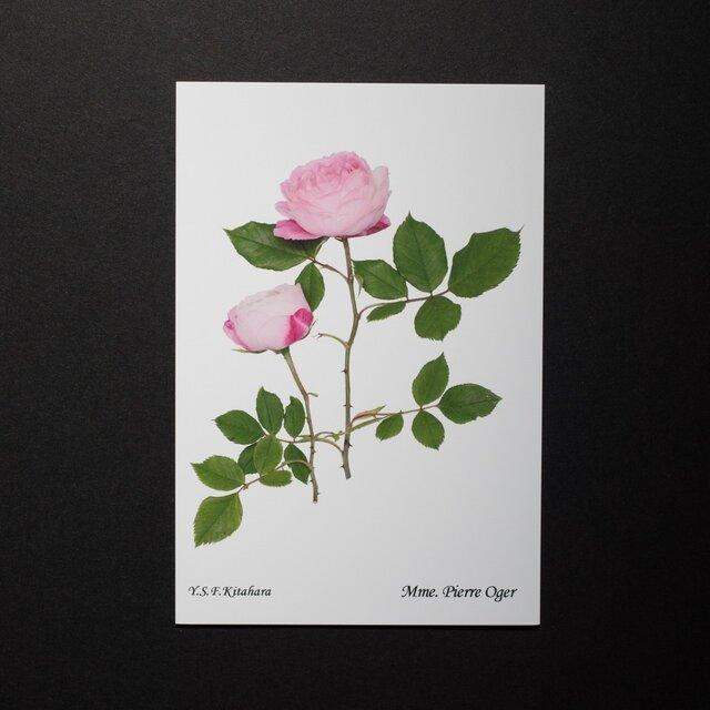 バラのポストカード マダム・ピエール・オジェの画像1枚目