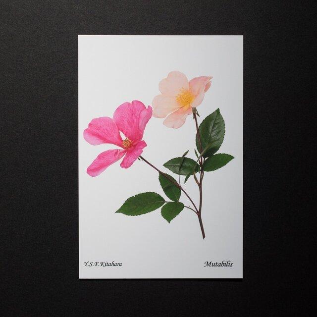 バラのポストカード ムタビリスの画像1枚目