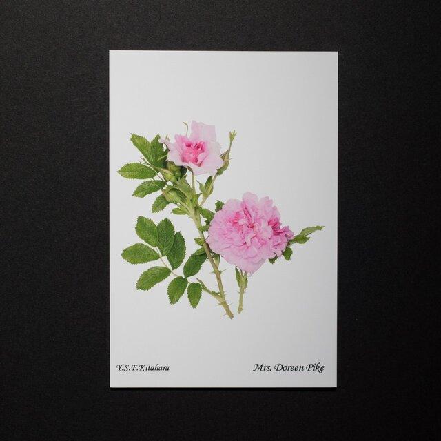 バラのポストカード ミセス・ドリーン・パイクの画像1枚目