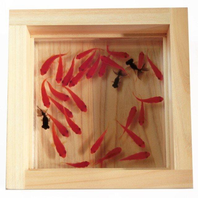 樹脂金魚 アクリル 金魚 アート プレミアム 「極」純日本製  プレゼント 結婚祝い 還暦祝い 誕生日 男性 女性 ヒノキの画像1枚目