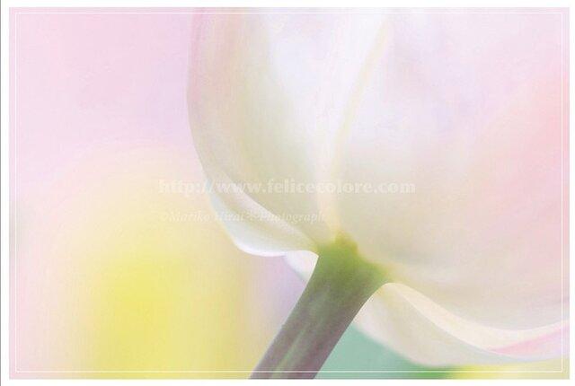 3枚セレクト・ポストカード*【夢見心地の恋するチューリップ】の画像1枚目