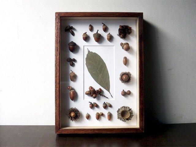 ドングリの標本函の画像1枚目